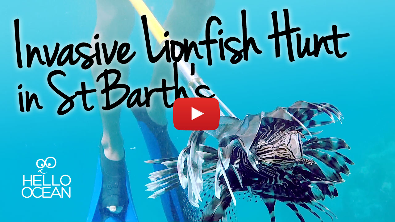 Invasive Lionfish Hunt in St Barth's Video